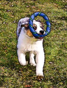 Australian shepherd puppy at play